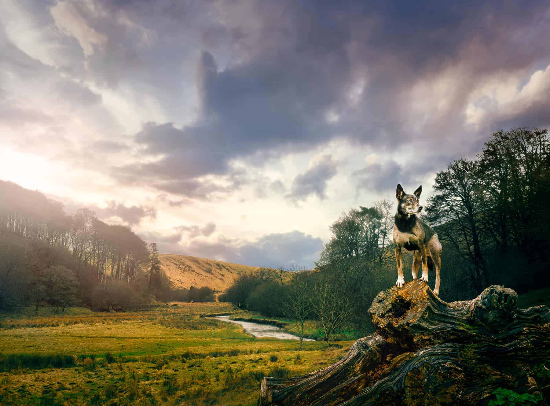 Dog On Tree Stump Overlooking Exmoor Somerset