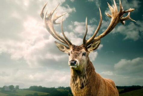 Stag-king-of-the-moor-somerset