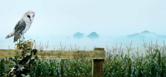 Breeze-barn-owl-and-somerset-maize-field-advanced-photo-retouching