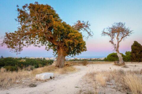 Tree-rhodes-ancient-olympic-stadium