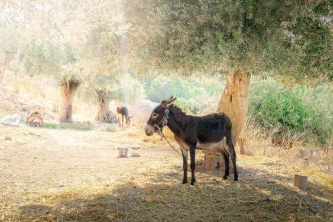 Donkey-under-tree-greece