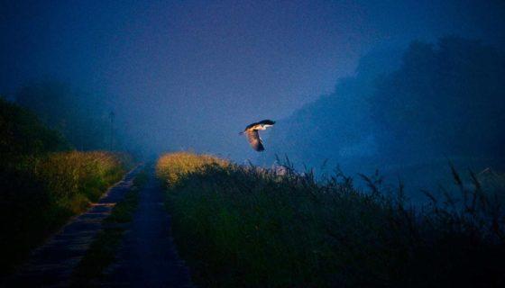 Taunton-photographer-heron-somerset-levels