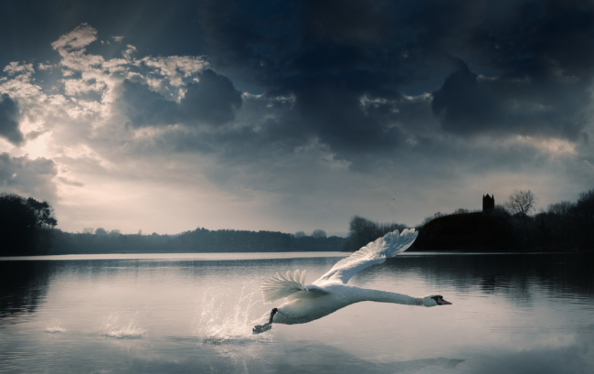 Swan Taking Off Over Somerset River